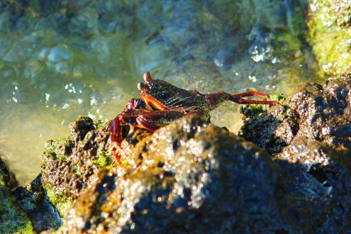Foto genomen op Hawaii. Krab op een rots bij de zee. Natuurfotografie / landschapsfotografie.