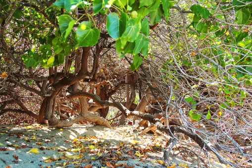 Foto genomen op Hawaii. Boom met krullende takken en groene bladeren op het strand. Natuurfotografie / landschapsfotografie.