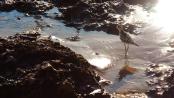 Foto genomen op Hawaii. Strandloper (vogel) op het strand van Hawaii. Natuurfotografie / landschapsfotografie.