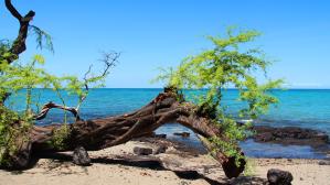 Foto genomen op Hawaii. Boom op het strand met helderblauwe oceaan. Natuurfotografie / landschapsfotografie.